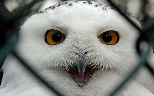 A snowy owl is pictured at its enclosure on December 19, 2013 at the zoo in Duisburg. (Photo by Horst Ossinger/AFP Photo/DPA)