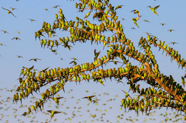 A tree covered in budgies near a shrinking water hole in Alice Springs, Australia, on February 16, 2016. A British wildlife photographer captured the flock of budgies after using Google Earth to pin-point the small waterholes. (Photo by Paul Williams/Rex Feature/Shutterstock)