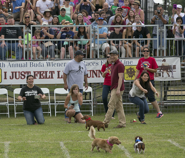 Racers try to gather their dogs after a finish. The 18th Annual Buda County Fair and Weiner Dog Races was held at city park in Buda Sunday April 26, 2015 sponsored by the Lions Club. (Photo by Ralph Barrera/Austin American-Statesman)