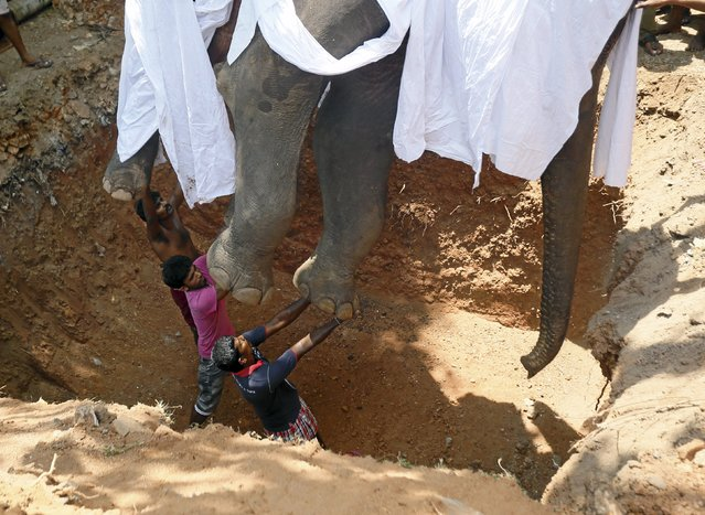 Local villagers prepare to bury the body of elephant Hemantha during a religious ceremony at a Buddhist temple in Colombo March 15, 2016. (Photo by Dinuka Liyanawatte/Reuters)