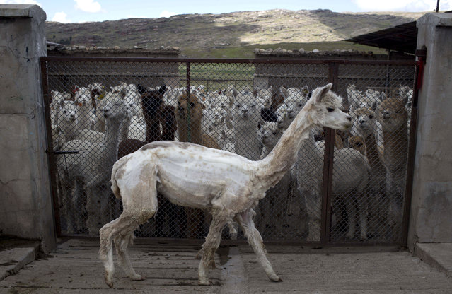 In this March 8, 2016 photo, an alpaca walks to rejoin the herd after getting sheered on the Mallkini Hacienda in the highlands of the Puno department in Peru. Alpaca breeders sell the fiber for $3 a pound, but the same amount on the international market can fetch as much as $300 dollars, according to agrarian authorities in Puno. (Photo by Martin Mejia/AP Photo)