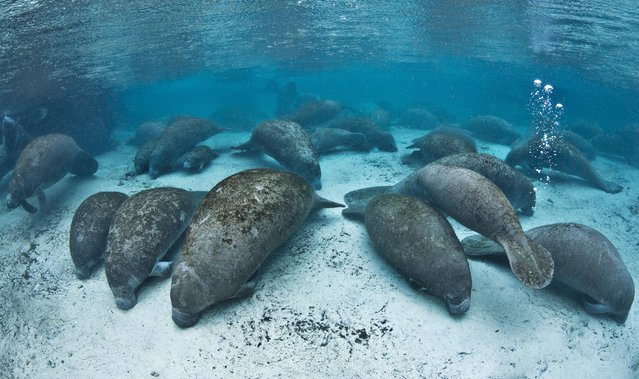 On a cold evening, large numbers of manatees (Trichechus manatus latirostrus) gather in Three Sisters Spring for the night. (Photo by Alexander Mustard/Barcroft Media)