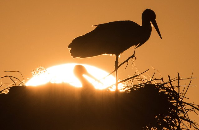 Two storks sit atop their aerie as the sun sets over Biebesheim, Germany, 22 April 2015. (Photo by Boris Roessler/EPA)