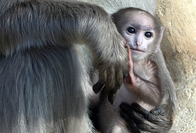 The gray langur (Semnopithecus) baby lies in the arm of mother Sariska in the zoo in Hanover, Germany, 06 March 2014. The monkey was born on 15 February. Its s*x is not determined yet and therefore the little monkey does not have a name so far. (Photo by Peter Steffen/EPA)