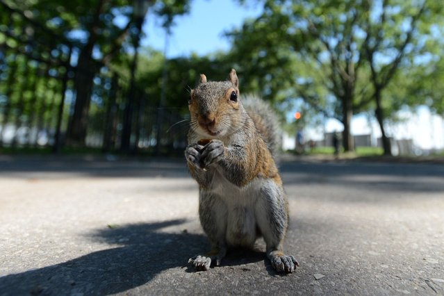 A friendly squirrel eats peanuts from a tourist at a park in New York of the United States, June 12, 2013. (Photo by Caters News)