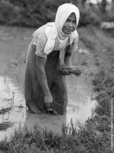 1947: A Filipino woman planting rice as she stands knee deep in the waters of a paddy field