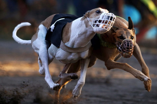 Greyhounds compete during a race at Santiago city, March 8, 2014. (Photo by Ivan Alvarado/Reuters)