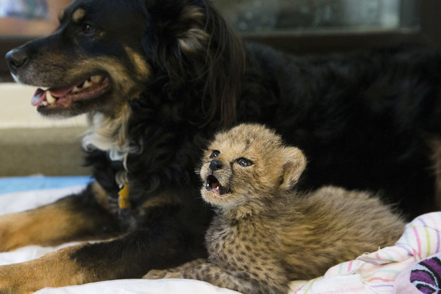 Resident nursery dog Blakely rests with a cheetah cub in the nursery at the Cincinnati Zoo & Botanical Gardens, Friday, April 29, 2016, in Cincinnati. Three of the zoo's four cubs were born prematurely on March 8 as part of a breeding program for the endangered big cats, requiring round-the-clock care and hand feeding. The fourth is an orphan from Oregon who's mother could not produce enough milk to feed him. (Photo by John Minchillo/AP Photo)