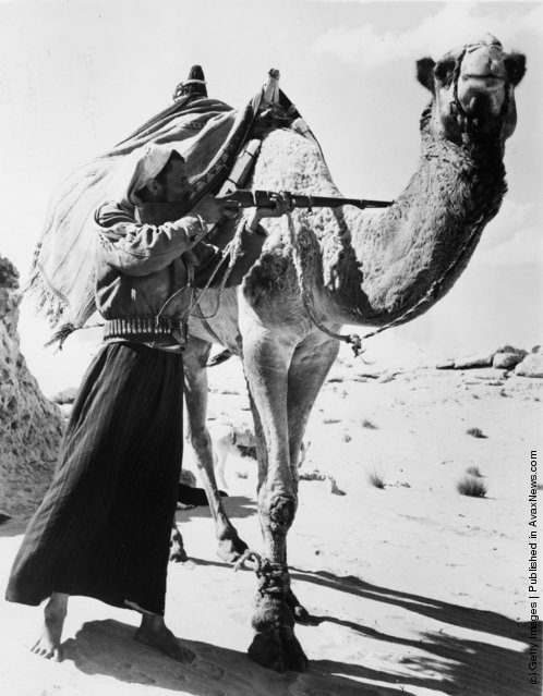 1955: A Bedouin rifleman hides behind his camel while he carefully takes aim in the Sahara desert