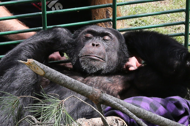 Charlie the chimpanzee, rests in his cage on April 14, 2014, in the town of Aley in Mount Lebanon, southeast of Beirut, after being confiscated from a zoo on April 12, and placed in Animals Lebanons care. Charlie, nine-years-old, was smuggled into Lebanon in 2005 and sold from a pet shop before ending up in Animal City zoo. The Ministry of Agriculture declared in 2006 that he was brought into the country without a legal permit for his importation. (Photo by Anwar Amro/AFP Photo)