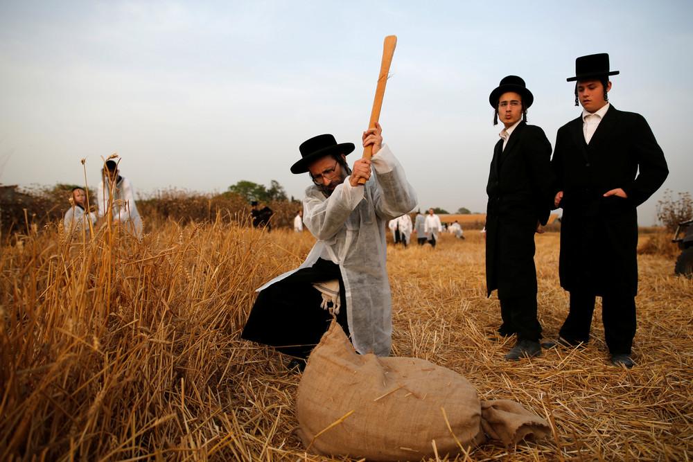 Wheat on Passover