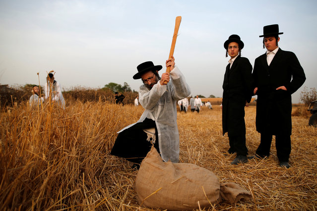 An Ultra-Orthodox Jewish man uses a stick to to separate the wheat grains in the Ultra-orthodox moshav of Komemiyut May 3, 2016. (Photo by Amir Cohen/Reuters)