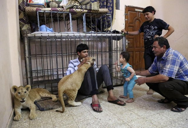 In this Tuesday, June 16, 2015 photo, Saduldin Al-Jamal, 54, left, and his son Ibrahiml, 17, and his his grandson, Malak, 7 months, play with lion cubs Mona and Max, at his family house in Rafah refugee camp, in the southern Gaza Strip. (Photo by Adel Hana/AP Photo)