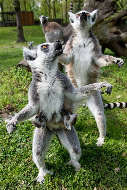 Young ring-tailed lemurs (Lemur catta) cling to their mother in their enclosure in Wroclaw's Zoo, in Wroclaw, Poland, 18 April 2014. The primate is endemic to the island of Madagascar. (Photo by Maciej Kulczynski/EPA)