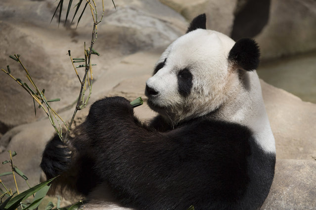 Xing Xing, formerly known as Fu Wa, a male giant panda from China, eats bamboo at the Giant Panda Conservation Center at the National Zoo in Kuala Lumpur, Malaysia on Wednesday, May 4, 2016. The two giant pandas have been on loan to Malaysia from China for 10 years since May 21, 2014 to mark the 40th anniversary of the establishment of diplomatic ties between the two nations. (Photo by Vincent Thian/AP Photo)