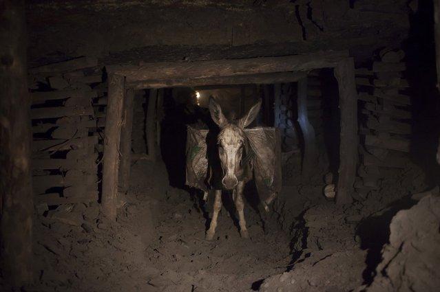 A donkey carrying sacks of coal walks through the narrow tunnels of a coal mine, in Choa Saidan Shah in Punjab province April 29, 2014. (Photo by Sara Farid/Reuters)