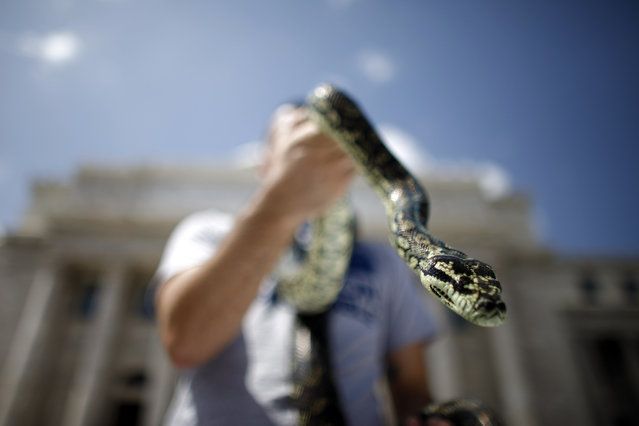 "Rafael Lopez holds up his carpet python during a demonstration by the owners of exotic pets outside the Capitol in San Juan, Puerto Rico, Wednesday, May 21, 2014. Exotic pet owners oppose proposed amendments to the ""New Wildlife Act of Puerto Rico"" law because it creates a list of ""harmful and poisonous species"" which would make it unlawful to continue to have their exotic pets at home. (Photo by Ricardo Arduengo/AP Photo)"