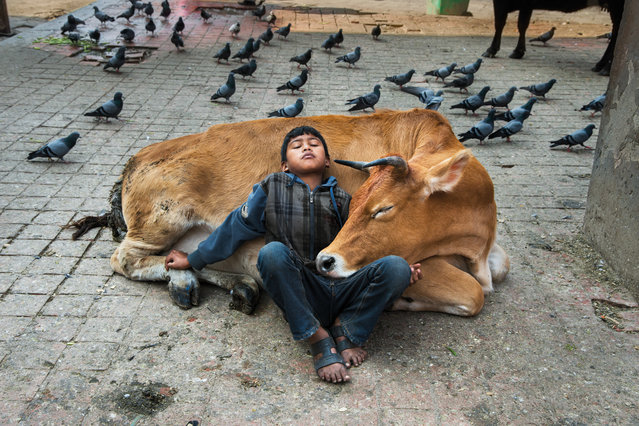 "A boy rests against a cow, Kathmandu, Nepal, 2013. ""Cows have been designated the national animal in Nepal. They roam freely, and are considered sacred by the 80% of Nepalis who are Hindu"". (Photo by Steve McCurry/The Guardian)"
