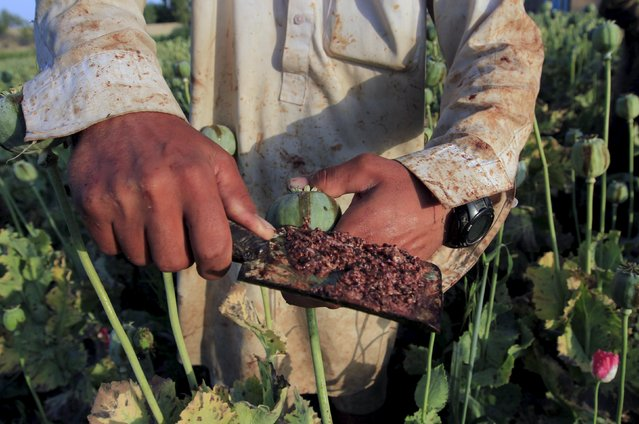 Raw opium from a poppy head is seen at a poppy farmer's field on the outskirts of Jalalabad, April 28, 2015. (Photo by Reuters/Parwiz)