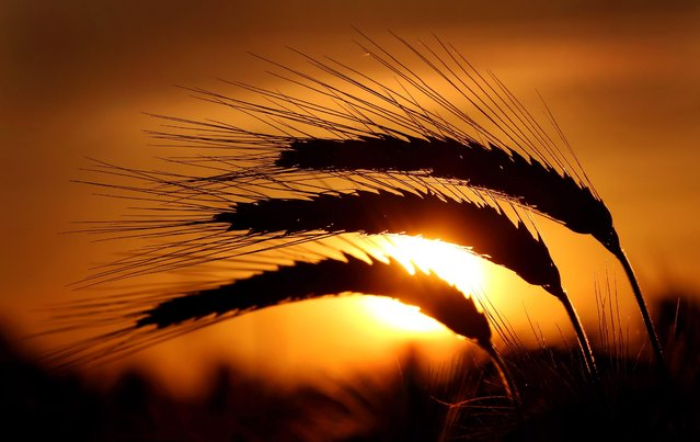 The evening sun shines behind ears of barley on a field in Duesseldorf, Germany, on June 22, 2014. (Photo by Martin Gerten/European Pressphoto Agency)