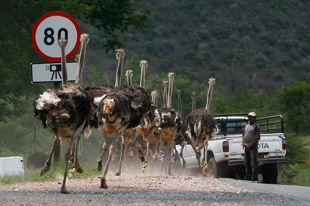 A herd of ostriches runs on a street after breaking out of their enclosure outside Oudtshoorn, east of Cape Town, South Africa January 7, 2008. (Photo by Alex Grimm/Reuters)