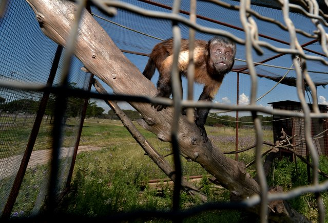 "A monkey is seen in a cage at the veterinary clinic ""Our Animal Kingdom"" in the Appia Antica park at the outskirts of Rome, on June 6, 2016. The clinic run by Italian doctor Umberto Cara is specialized in the recovery of animals brought by police officers as part of the fight against animal trafficking or confiscated from mobsters, drug dealers or collectors. Some of the animals are rescued by customs officers in Italy's airports and ports, hubs in which smugglers are also regularly caught with valuable animal parts or skins stowed in false suitcase bottoms or stashed inside everyday objects. (Photo by Filippo Monteforte/AFP Photo)"