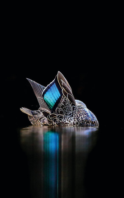 """The speculum by Georgina Steytler. Australia. Gold award winner in the creative imagery category. A Pacific black duck (Anas superciliosa) shows its iridescent speculum feathers in Garvey Park, Perth, Western Australia. """"I took this photo at a small lake. The still waters and the dark foliage of the background resulted in an opportunity to highlight the gorgeous feathers. I exaggerated the effect in Adobe Lightroom (and cropped), but otherwise have not altered the original photo"""". (Photo by Georgina Steytler/2017 Bird Photographer of the Year Awards)"""