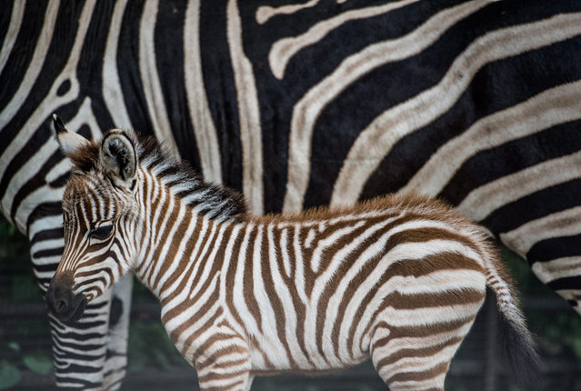 A newly born Zebra baby stands next to her mother at the zoo in Prague, Czech Republic, 28 August 2015. The baby Zebra was born during the morning hours of 28 August  2014 and its s*x and name is still unkown. (Photo by Filip Singer/EPA)