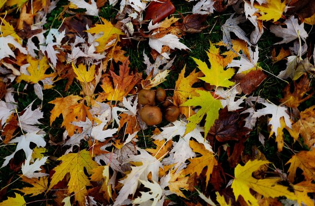 Mushrooms are seen among fallen leafs in a park in downtown Frankfurt, Germany, November 6, 2016. (Photo by Kai Pfaffenbach/Reuters)