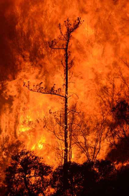 A wildfire burning near in Bear Divide in the Angeles National Forest, Calif., Saturday, July 23, 2016. (Photo by Ryan Babroff/AP Photo)