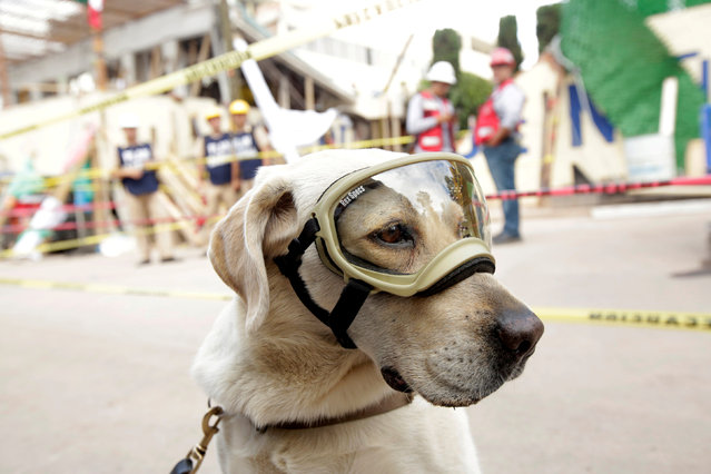 Rescue dog Frida looks on while working after an earthquake in Mexico City, Mexico September 22, 2017. (Photo by Jose Luis Gonzalez/Reuters)