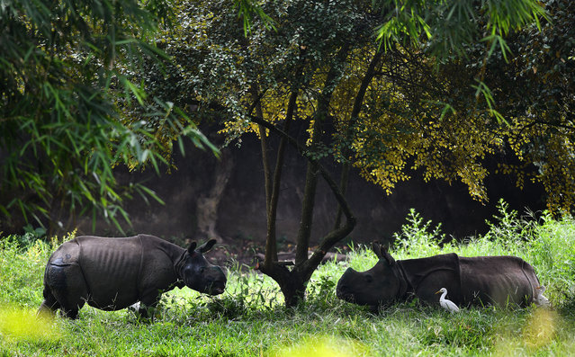 Two one horned baby Rhinos grassing just after they arrived from Kaziranga National park in Guwahati Zoo, Assam, India, 13 October 2017. Three rhino calf, which were rescued from this year's flood in Kaziranga, have been brought to Guwahati zoo for conservation breeding programme. (Photo by EPA/EFE/Stringer)