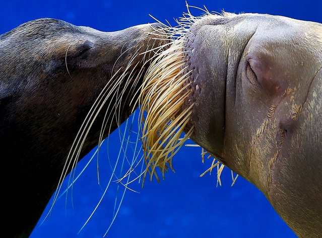 A California sea lion and a walrus kiss each other during a show at the Hakkeijima Sea Paradise aquarium-amusement park complex in Yokohama, southwest of Tokyo, Japan, on September16, 2012. (Photo by Itsuo Inouye/Associated Press)