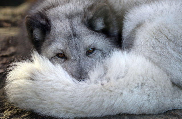A polar fox lies in his enclosure in Berlin's Zoo on November 13, 2012. (Photo by Johannes Eisele/AFP Photo)