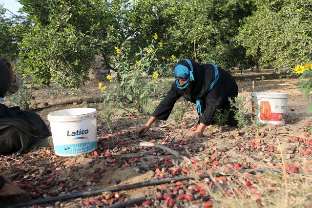 A Palestinian woman sorts freshly picked dates during harvest season in Khan Younis in the southern Gaza Strip October 4, 2015. (Photo by Ibraheem Abu Mustafa/Reuters)