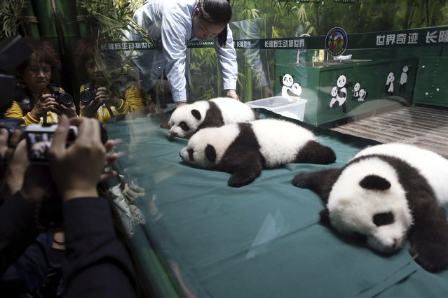 Visitors take photos of the panda triplet cubs in the Chimelong Safari Park in Guangzhou in south China's Guangdong province Wednesday, November 5, 2014. Keepers responsible for looking after the world's only surviving set of giant panda triplets said the cubs were doing well, as they celebrated turning 100 days old on Wednesday. The triplets born at Chimelong are the fourth case of panda triplets ever recorded. (Photo by AP Photo)
