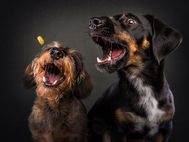 Dachshunds (wired and short). (Photo by Vieler Photography/Caters News Agency)