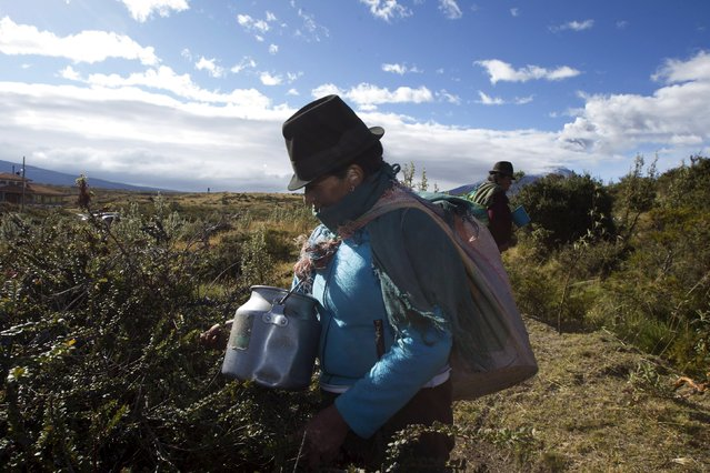 Locals harvest mortinios (blueberries) at the northern outskirts of the Cotopaxi volcano, one of the world's highest active volcanoes, at El Pedregal, in Ecuador October 22, 2015. (Photo by Guillermo Granja/Reuters)