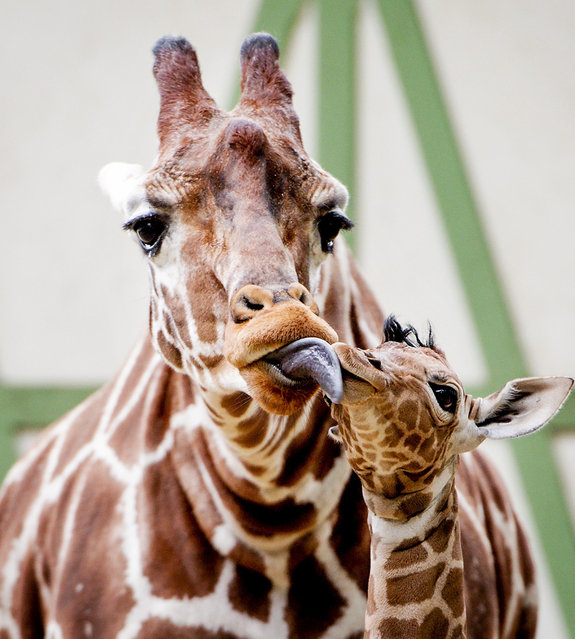 A baby giraffe cuddles with its mother as it explores their outdoor enclosure for the first time in the Artis Royal Zoo in Amsterdam, The Netherlands, October 22, 2015. (Photo by Robin van Lonkhuijsen/AFP Photo/ANP)