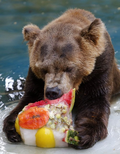 A grizzly bear eats a frozen fruits during a hot summer day at Rio de Janeiro's zoo January 13, 2015. (Photo by Sergio Moraes/Reuters)