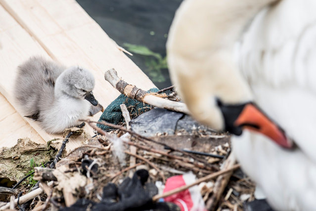 Swan and its cygnet are seen in the nest made partly of rubbish from the lake near Queen Louise's Bridge in Copenhagen, Denmark on May 28, 2018. (Photo by Mads Claus Rasmussen/Reuters/Ritzau Scanpix)