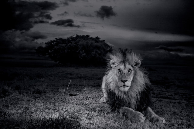 Photographer Nick Nichols made several extended trips to the Serengeti between July 2011 and January 2013, determined to break new visual ground in the coverage of the Serengeti Lion. Here, C-Boy, a dark-maned male lion defending his interests, confronts the peril of lion-on-lion violence on a daily (and nightly) basis. Four years ago, C-Boy barely survived a fight for dominance with three other males. (Photo by Michael Nichols/National Geographic via The Atlantic)