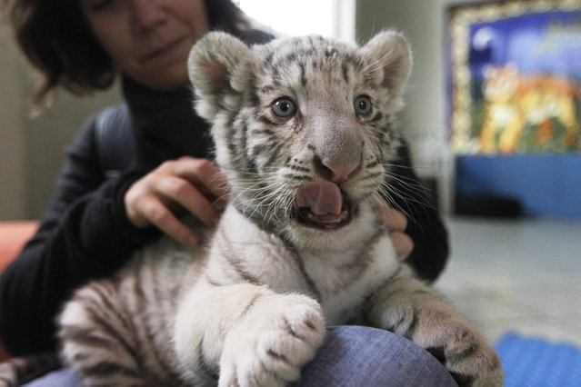 A white Bengal tiger cub plays with a journalist during a press presentation at Huachipa's private Zoo in Lima August 5, 2013. The 41-day-old, yet unnamed cub was born at the park and is the first white Bengal tiger in Peru to have been born in captivity. (Photo by Mariana Bazo/Reuters)