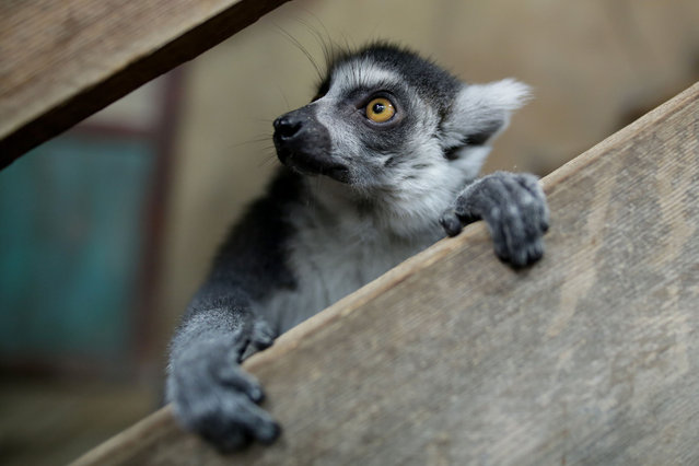 A ring-tailed lemur (Lemur catta) in its enclosure at Tierpark Hagenbeck zoo in Hamburg, Germany, 29 December 2015. Once a year, an inventory and health checks are conducted for the inhabitants of the tropical aquarium. (Photo by Axel Heimken/DPA via ZUMA Press)