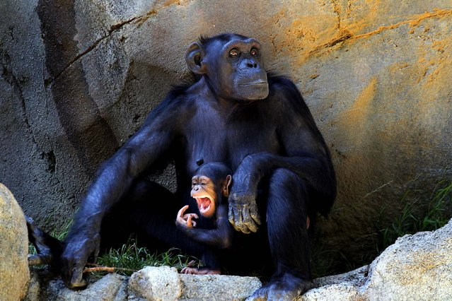 A baby chimpanzee and her mother stay in the shade to avoid the hot weather ,at the Chimpanzees of Mahale Mountains Zoo exhibit at Los Angeles Zoo and Botanical Gardens, on September 4, 2013. (Photo by Nick Ut/Associated Press)