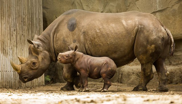 King, a three-week-old rhino calf, makes his public debut at Chicago's Lincoln Park Zoo, on September 17, 2013. King stands next to his first-time mother Kapuki.   King weighs 200 pounds, 140 more pounds than he weighed at birth. (Photo by Todd Rosenberg/Associated Press)