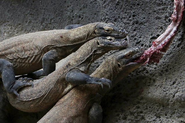 Komodo dragons eat meat inside their enclosure at Prague Zoo, Czech Republic, January 16, 2016. (Photo by David W. Cerny/Reuters)