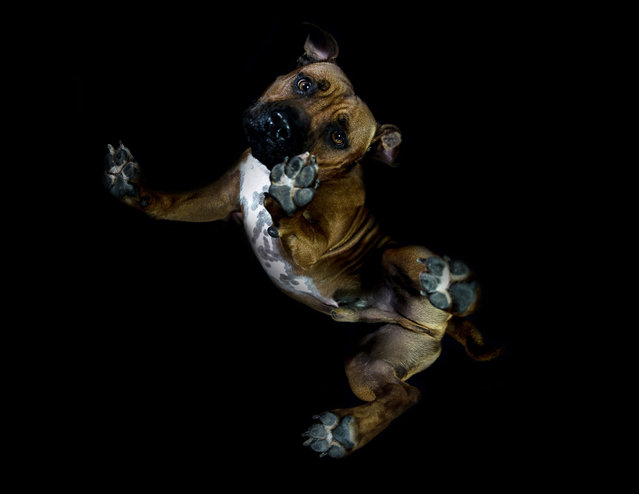 A photograph of a pit bull taken from underneath on December 2016 in VA, Canada. (Photo by The Underdogs Project/Barcroft Images)