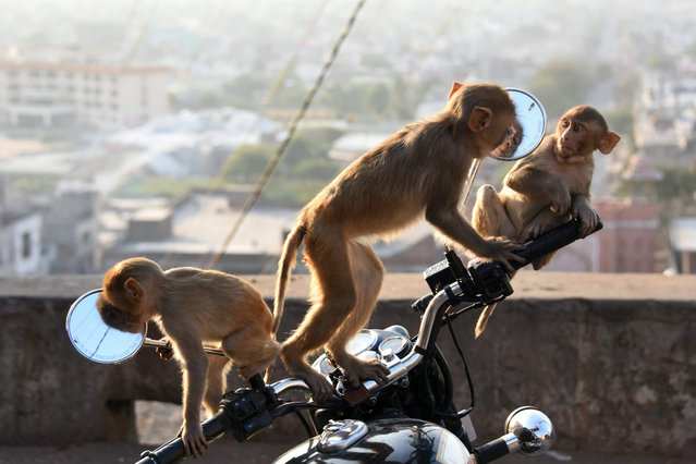 This photo take on December 16, 2016 shows macaques monkeys playing on a motorbike in the grounds of a temple in Jaipur in the Indian state of Rajasthan. (Photo by Dominique Faget/AFP Photo)