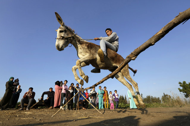In this Friday, February 5, 2016 picture, Egyptian farmer Ahmed Ayman, 14, rides his trained donkey as he jumps over a barrier in the Nile Delta village of Al-Arid about 150 kilometers north of Cairo, Egypt. He discovered the donkey's talent after she jumped over a small irrigation canal. (Photo by Amr Nabil/AP Photo)